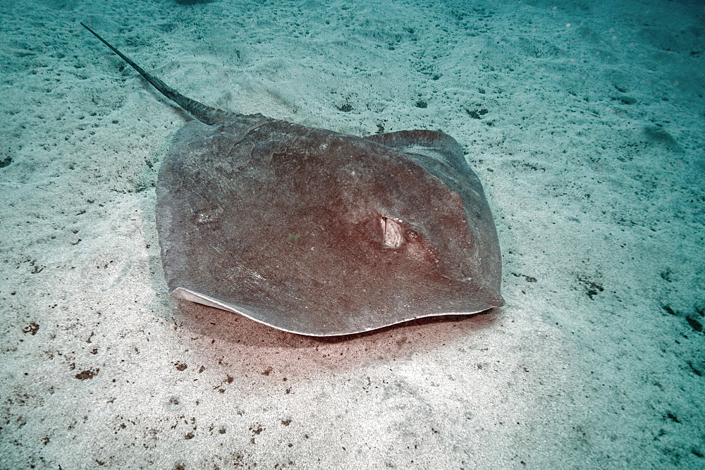 Roughtail Stringray (Dasyatis centroura),Tenerife, Canary Islands, Spain, Atlantic Ocean