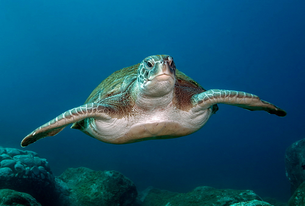 Green Turtle (Chelonia mydas), Tenerife, Canary Islands, Spain, Atlantic Ocean