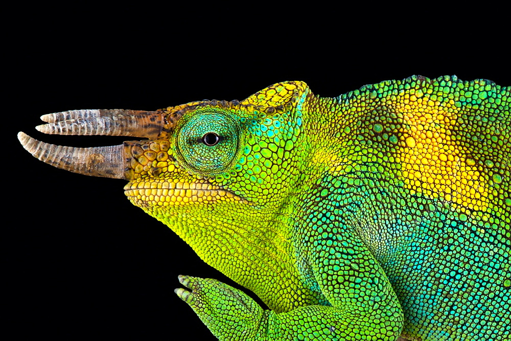 Johnston's chameleon (Trioceros johnstoni)