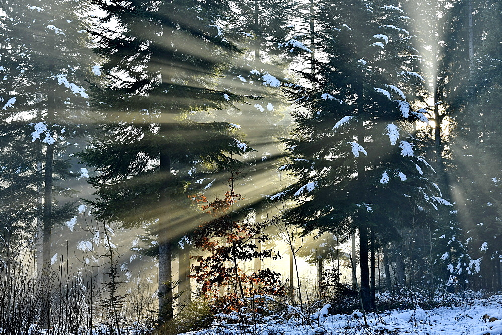 Rays of light crossing a fir forest in winters, Doubs, France