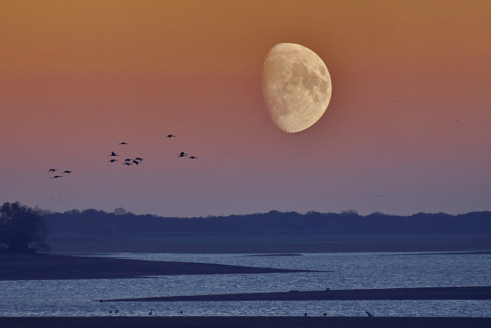 Flight of Cranes (Grus grus), moon, Lake Der, Haute Marne, Montier en Der, Haute-Marne, France