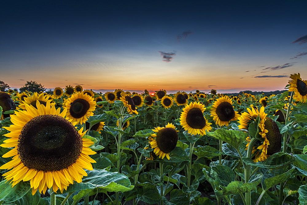 Field of Sunflowers at sunset, Sangatte, Hauts de France, France