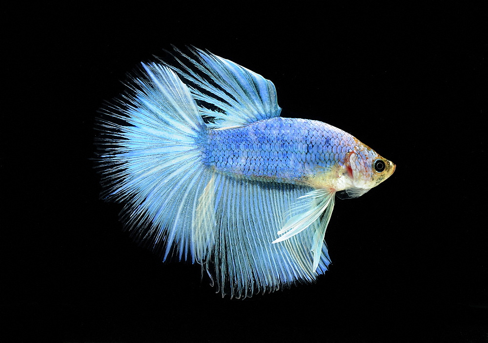 Siamese fighting fish (Betta splendens) male
