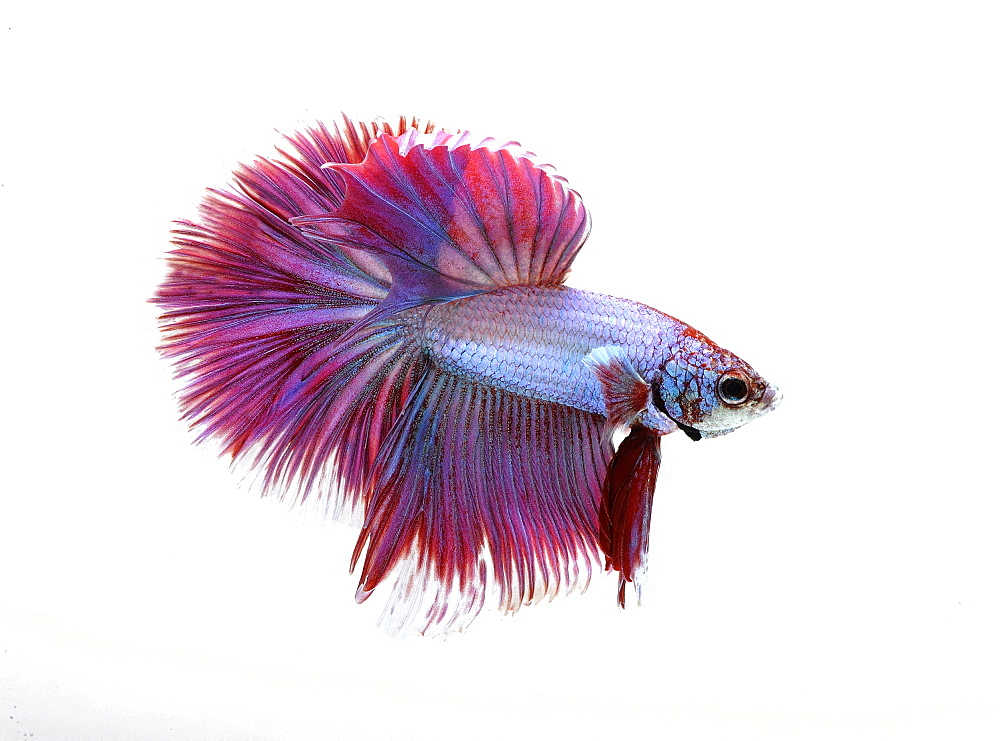 Siamese fighting fish (Betta splendens) 'Half Moon Tri Band' male