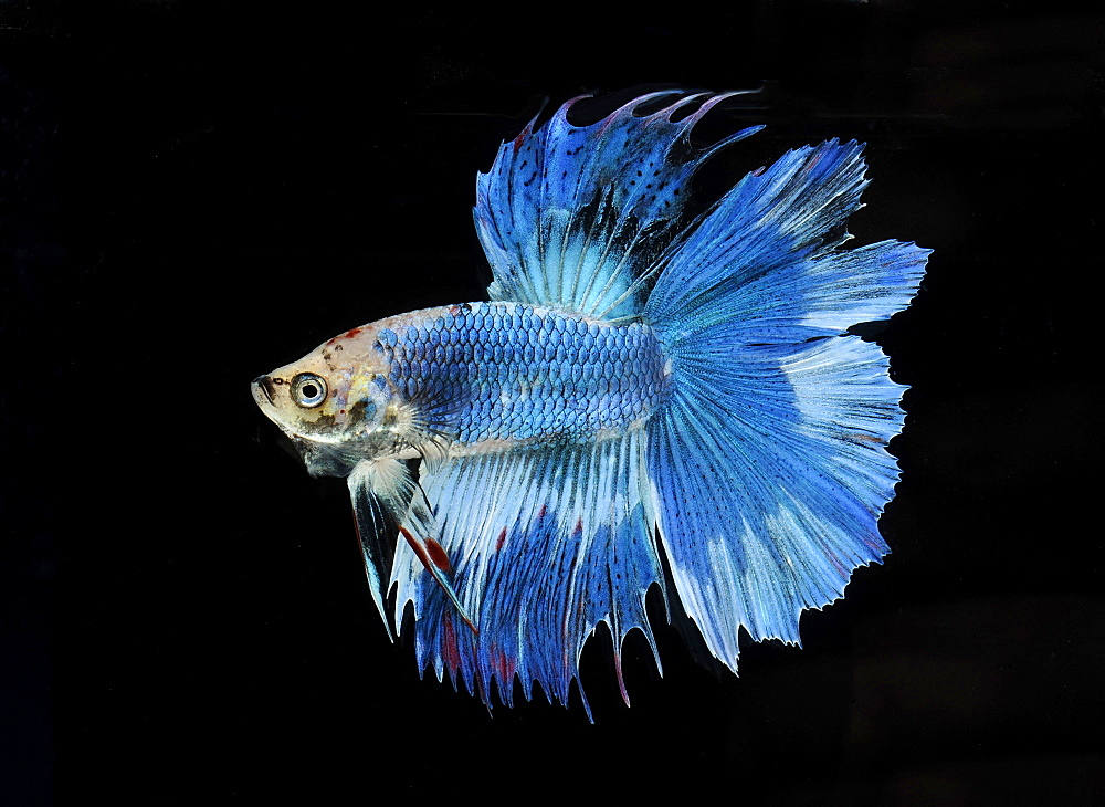 Siamese fighting fish (Betta splendens) 'Double Tail Butterfly' male