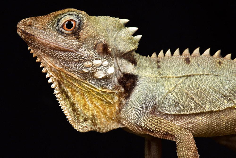 Boyd's Forest Dragon (Lophosaurus boydii)