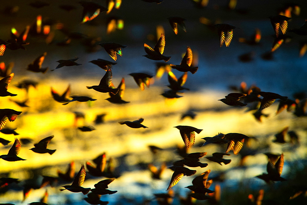Common Starling (Sturnus vulgaris) group in flight at dusk, Delta Ebro Natural Park, Spain