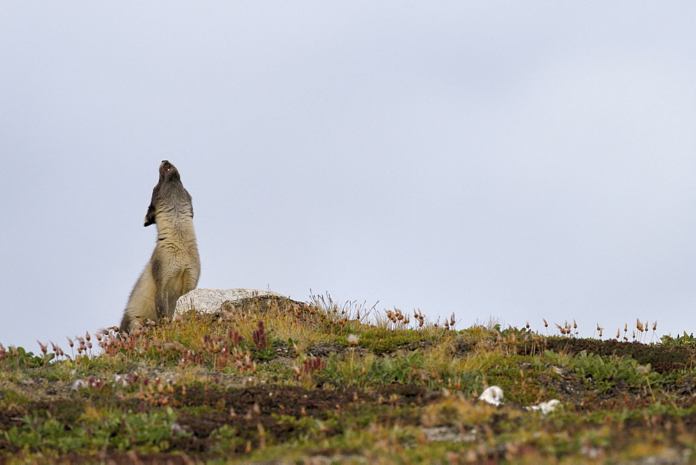 Arctic fox (Alopexlagopus) female calling his young. Jameson Land, Greenland, Northeast
