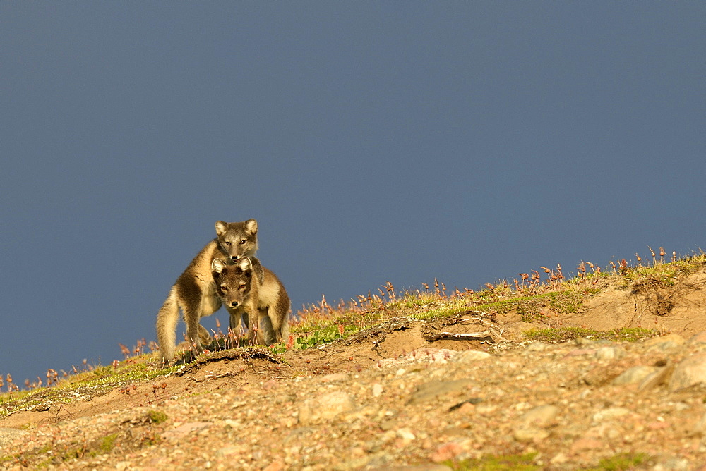 Arctic Fox (Alopex Lagopus) and his mother in the tundra, Jamson Land, North East Greenland
