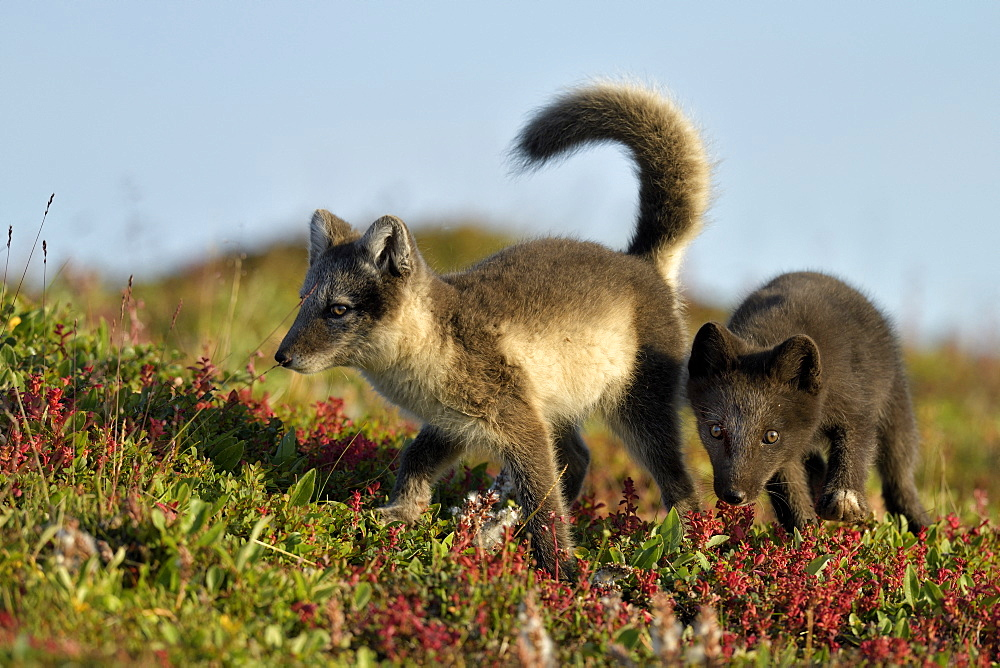 Young Arctic Foxes (Alopex Lagopus) playing, Jameson Land, Northeast Greenland