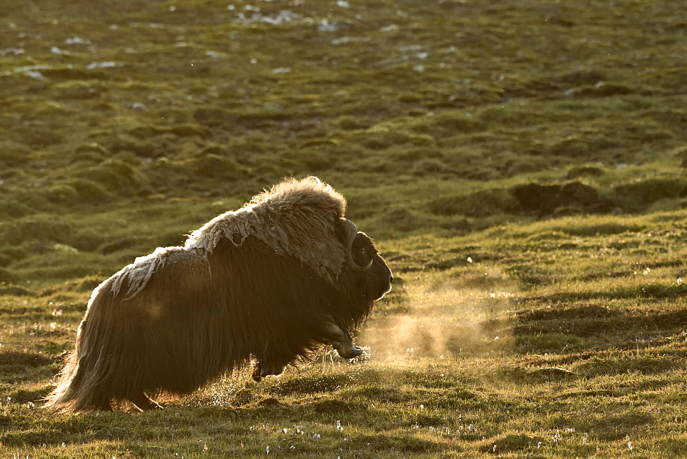 Muskox (Ovibos moschatus) running away, Jameson Land, Northeast Greenland
