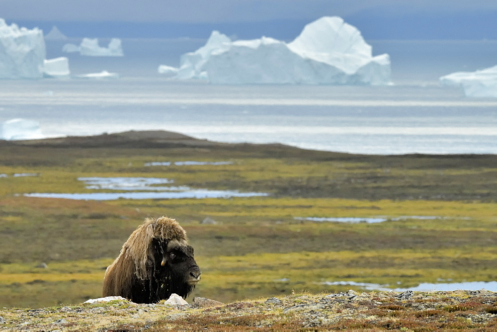 Muskox (Ovibos moschatus) solitary male in the tundra, bottom Scoresbysund, Jameson Land, Northeast Greenland