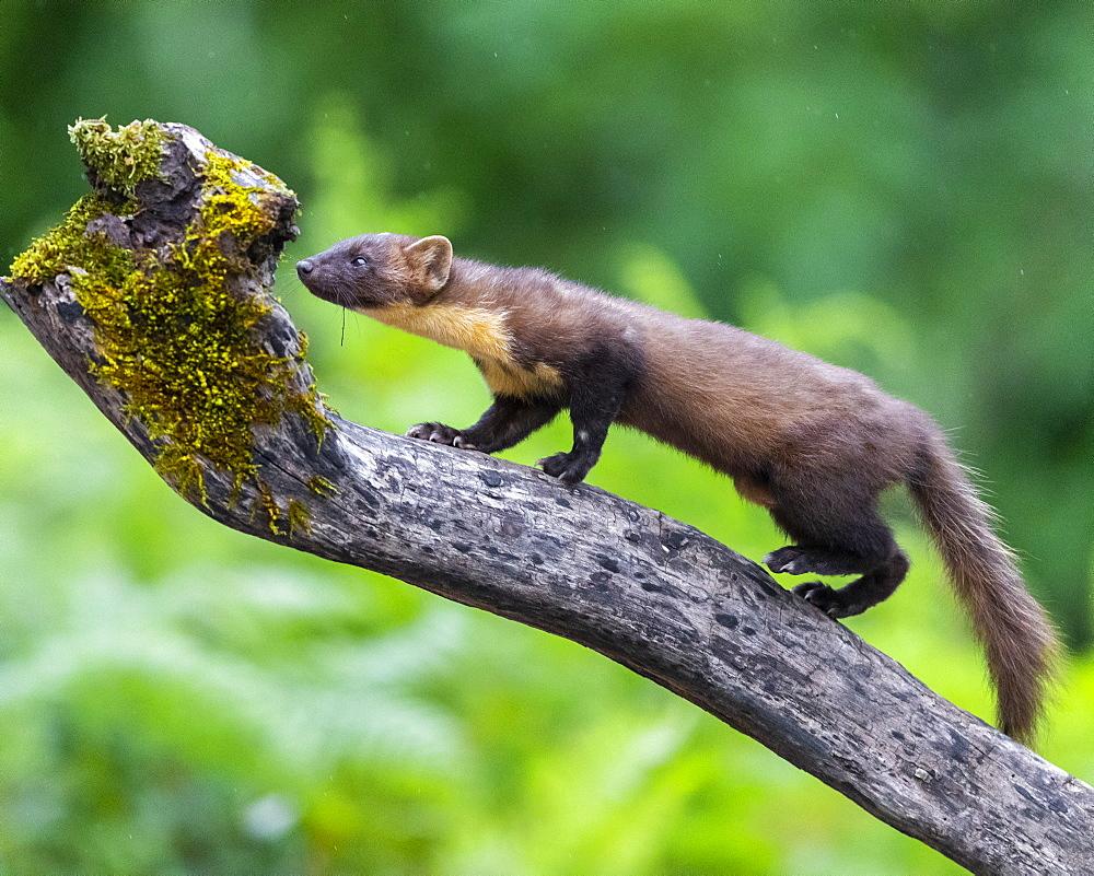 Pine Marten (Martes martes), adult climbing a trunk, Campania, Italy