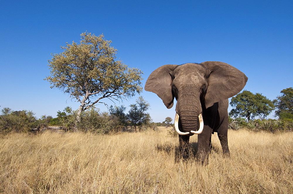 Elephant (Loxodonta africana), Abu Camp, Okavango Delta, Botswana