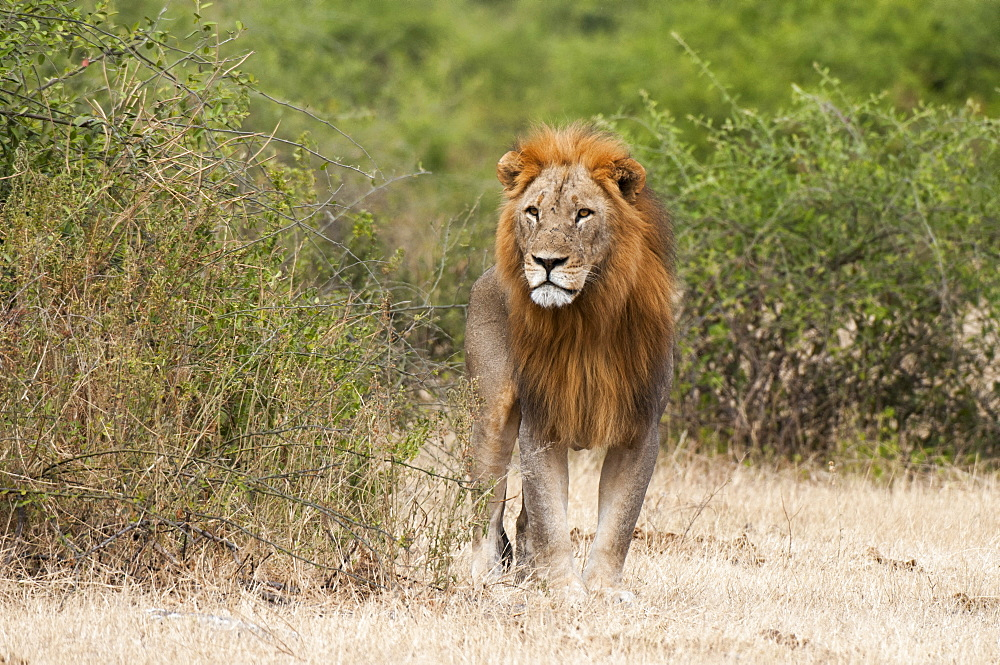 Lion (Panthera leo), Chobe National Park, Botswana.