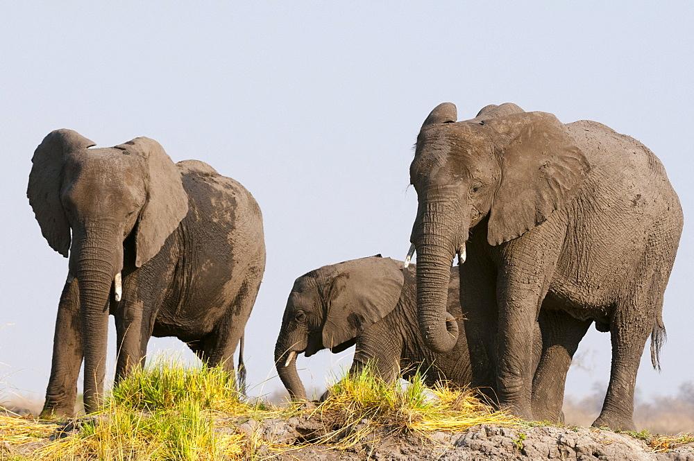 Elephants (Loxodonta africana), Chobe National Park, Botswana.