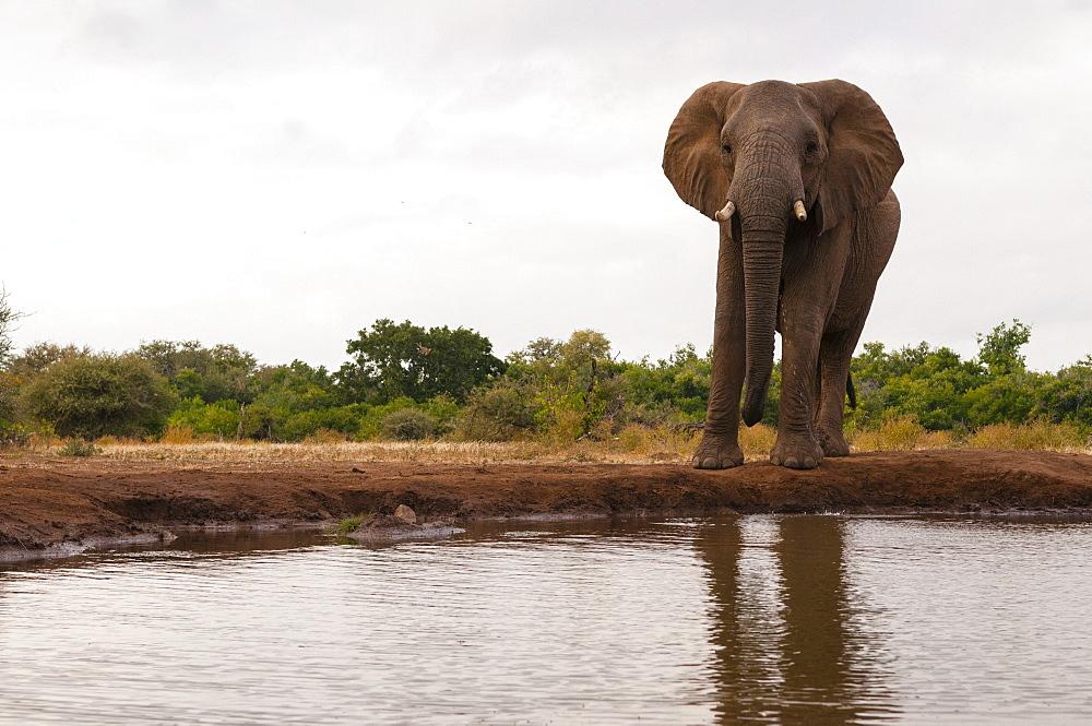 African elephant (Loxodonta africana), Mashatu Game Reserve, Botswana.