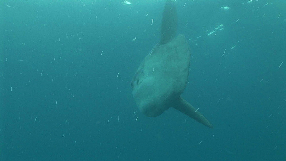 Azores, Atlantic Ocean, sunfish close to the water's surface - 863-1