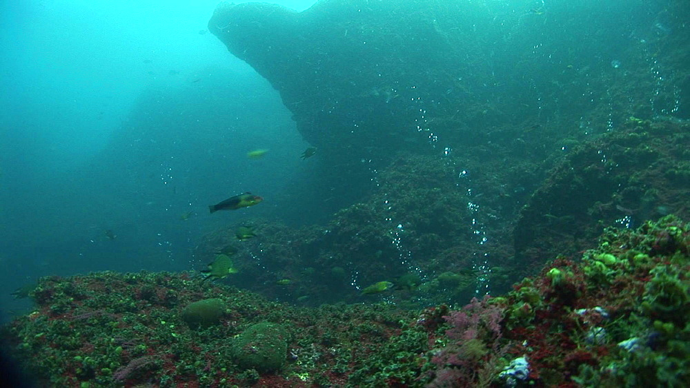 Azores, Atlantic Ocean, fish swimming through bubbles coming from hydrothermal vent