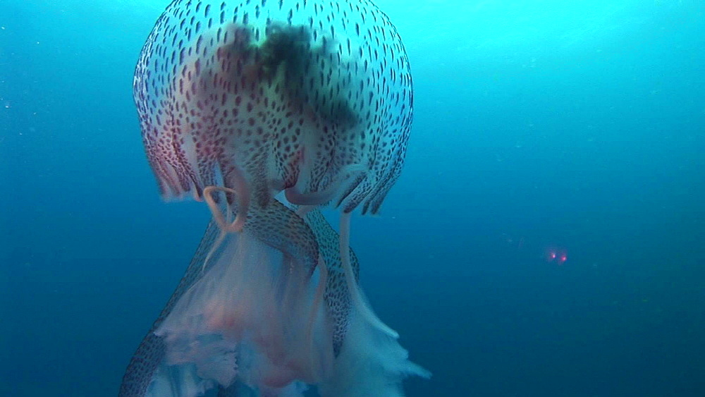 Azores, Atlantic Ocean, CU of  jellyfish passing diver and photographer - 863-2