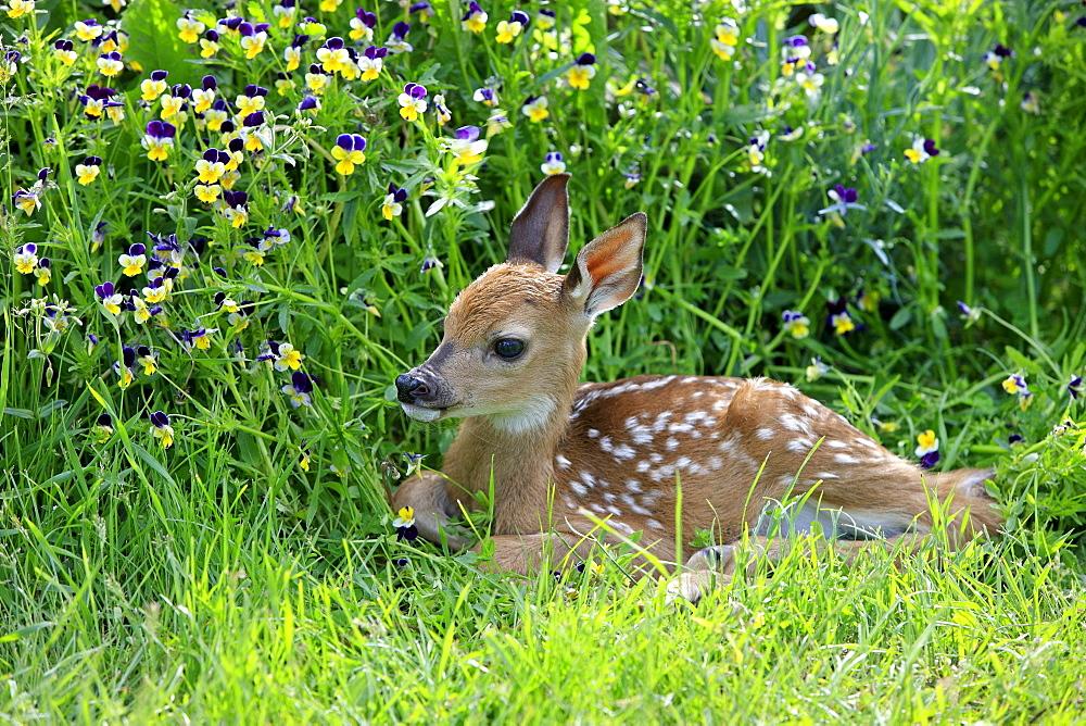 white-tailed deer white-tailed deer Minnesota USA North America America