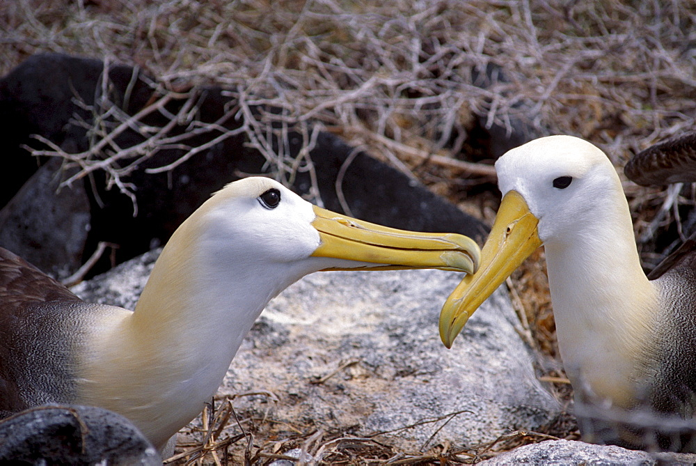 waved albatross sitting incubating in nest Galapagos Islands Ecuador South America