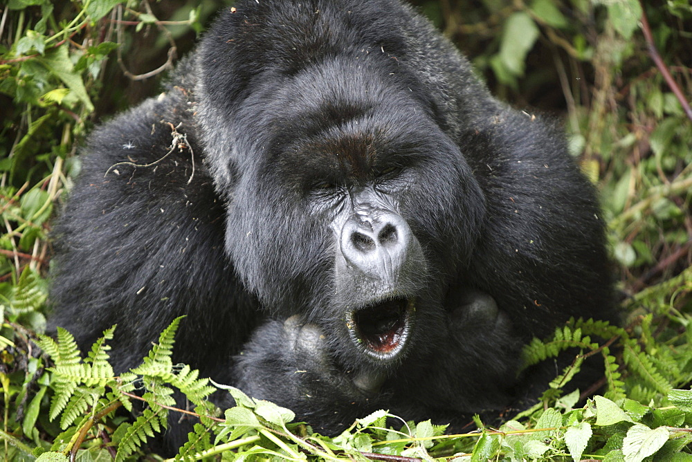 mountain gorilla male lying yawning between plants portrait