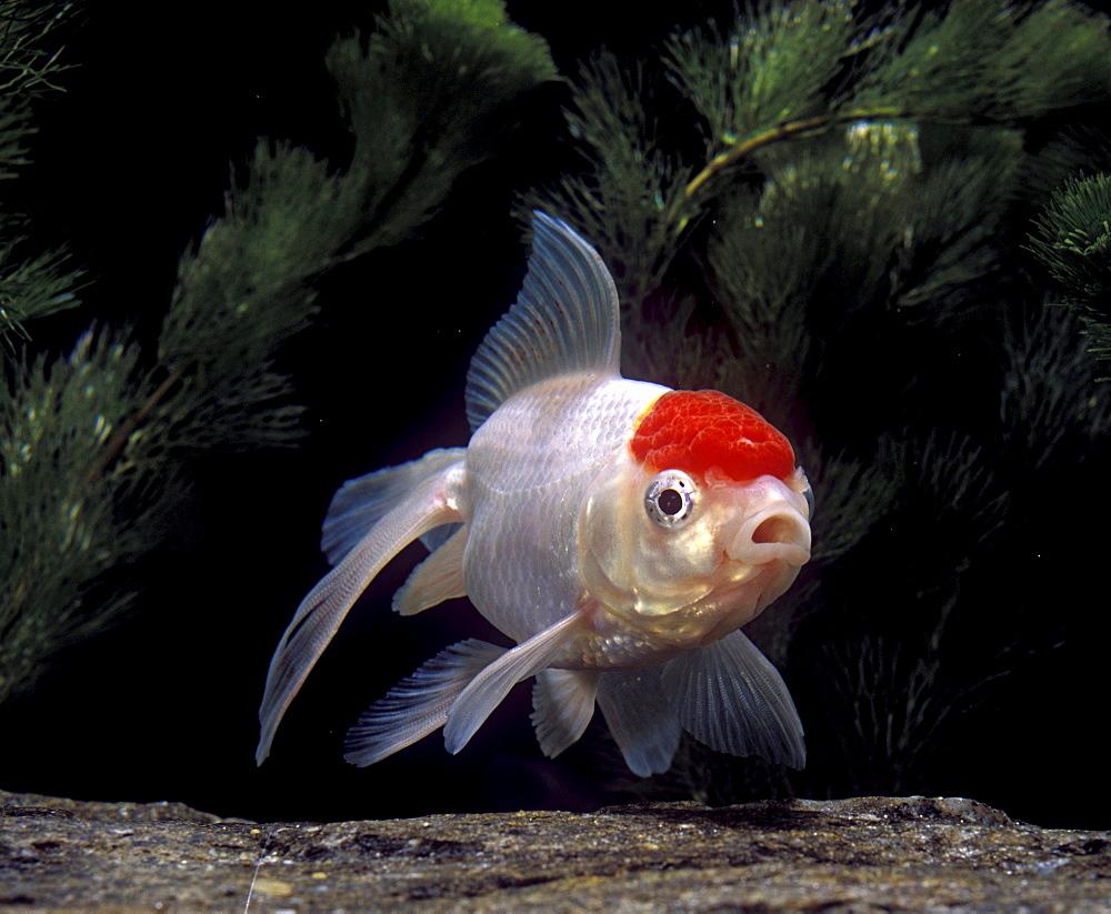 goldfish Goldfish Carassius auratus