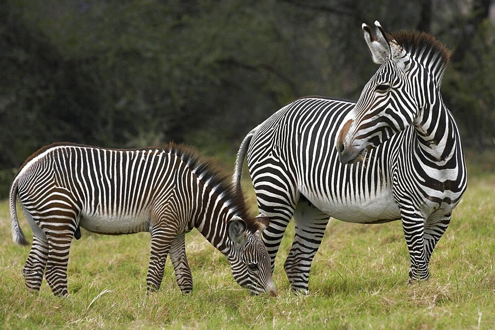 Grant's zebra Grants Zebras Equus burchelli Bohmi Africa