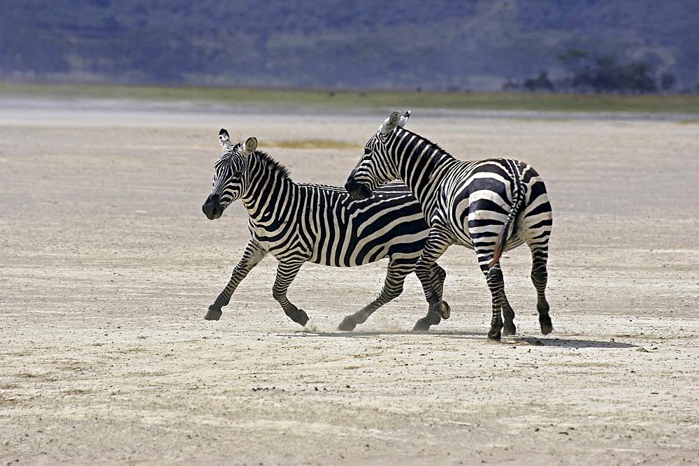 Grant's zebra two zebras chasing each other behaviour Africa