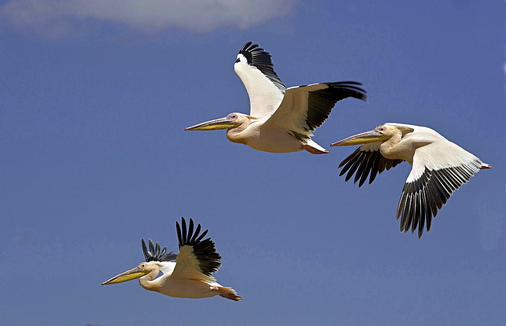 Eastern white pelican pelicans flying blue sky