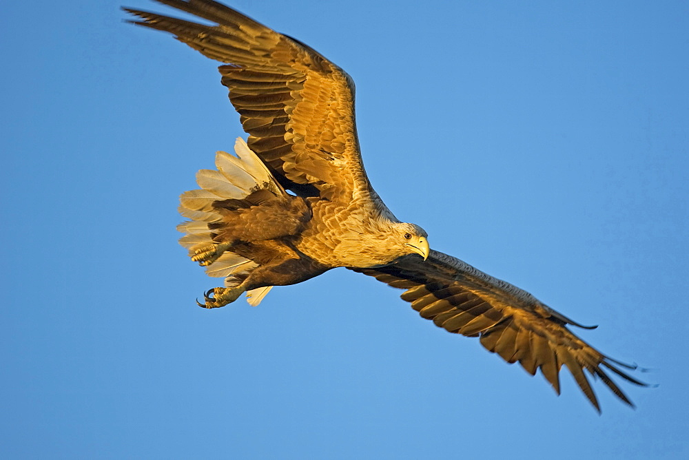 white-tailed sea eagle flying Flatanger Norway