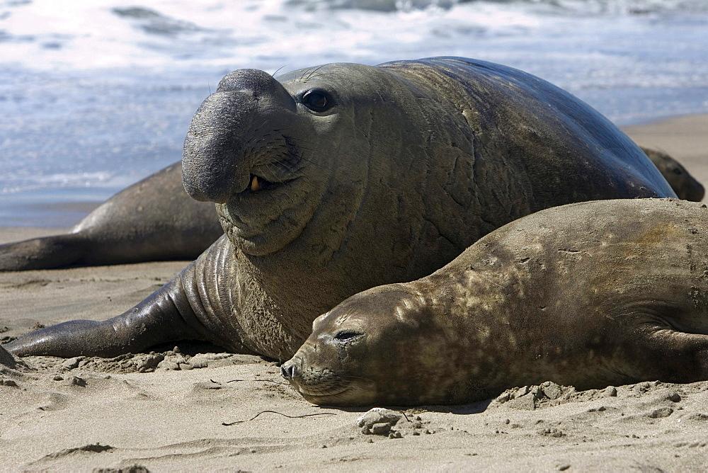 Southern elephant seal Southern Elephant seal male and female adult on beach coast