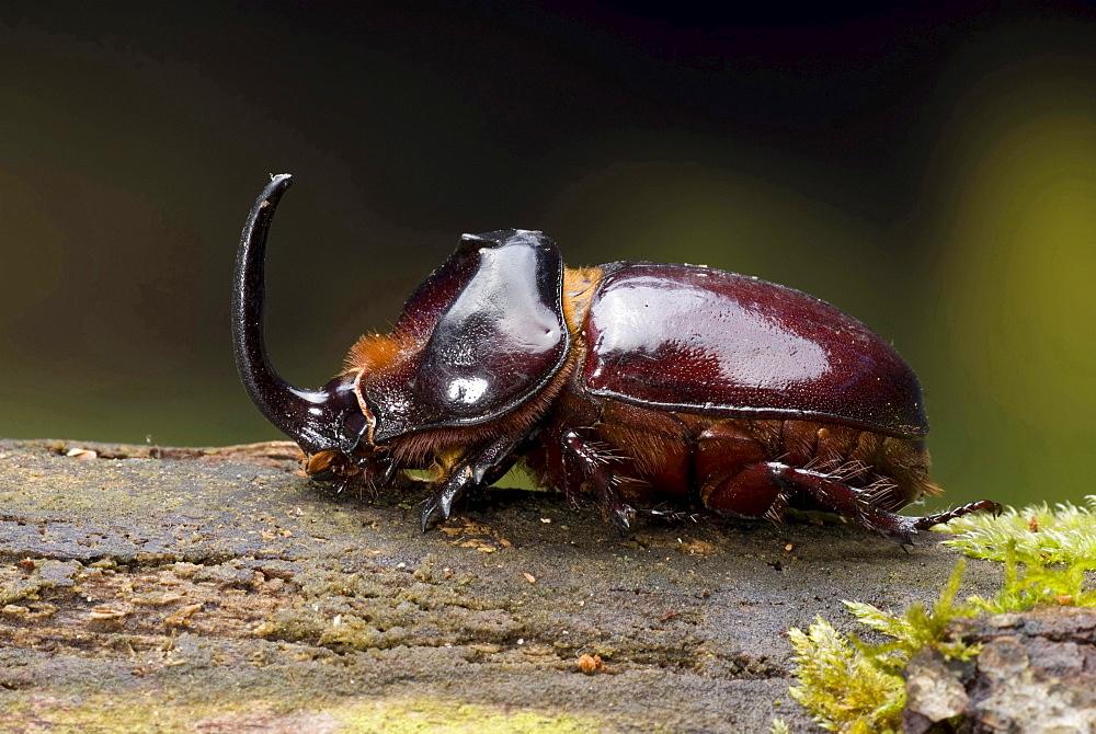 European rhinoceros beetle male rhinoceros beetle on bark Animals Nature