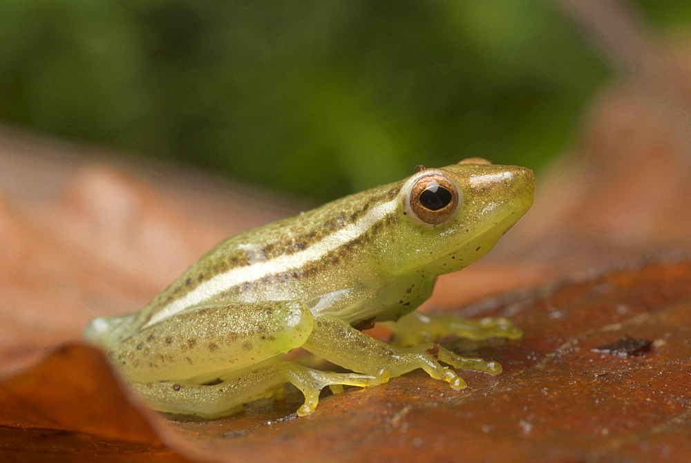 African sharp-nosed reedfrog reed frog sitting on leaf litter Animals Nature