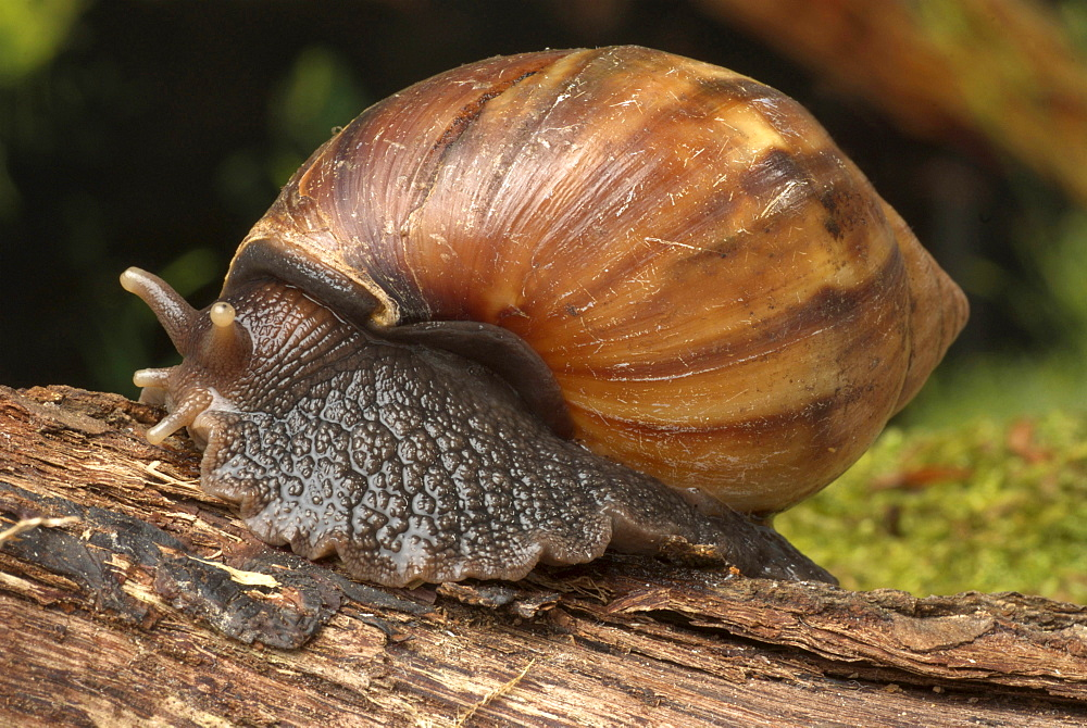 giant West African snail giant land snail Animals Nature