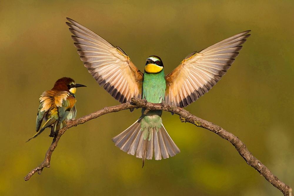 European bee-eater landing on outlook