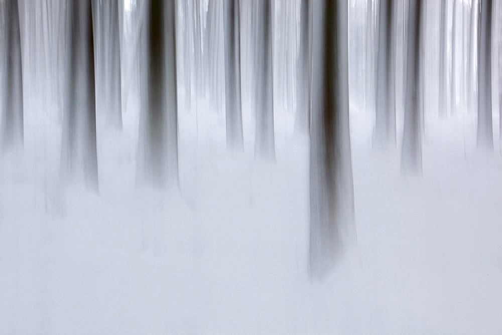 trees tree trunks surrounded by fog winter coldness mood