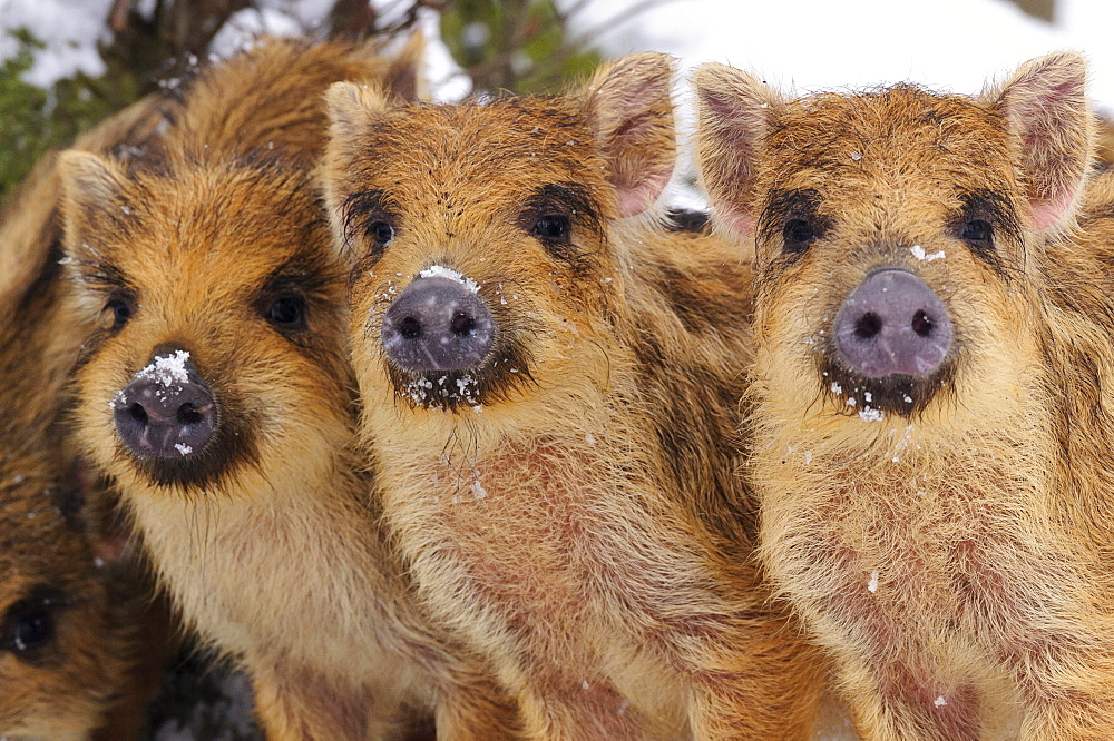 wild boar three young boar in the snow winter portrait Germany Europe