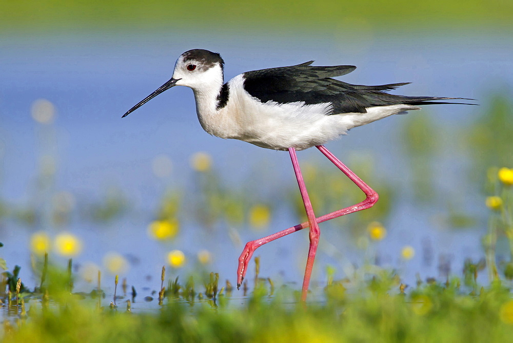 black-winged stilt stilt at shore in shallow water Majorca Balearic Islands Spain