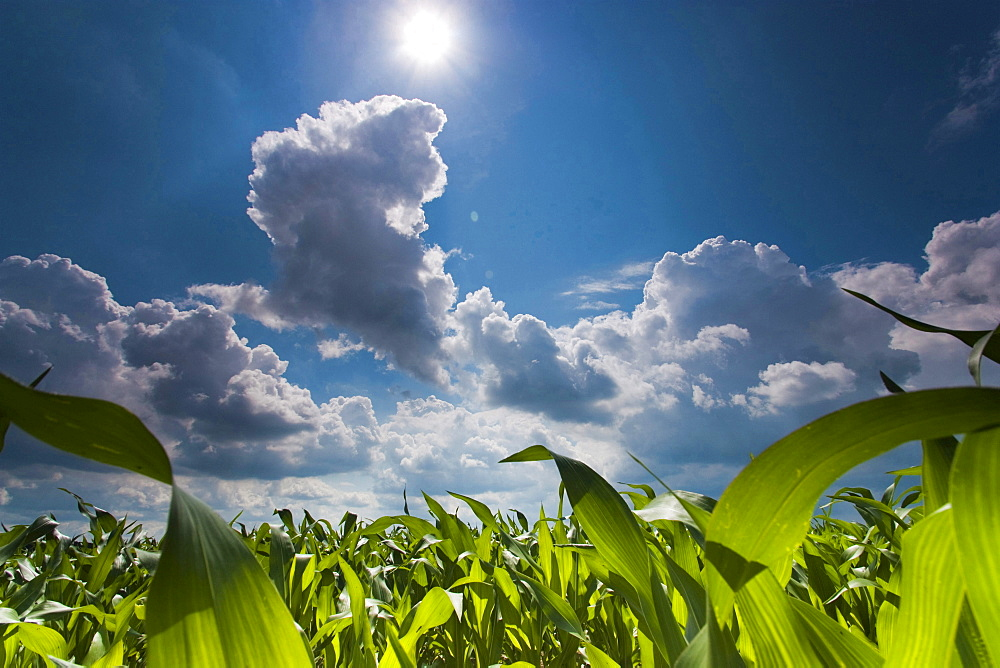 maize or corn maize field blue sky with clouds and sun summer Pohl Vogtland Saxony Germany