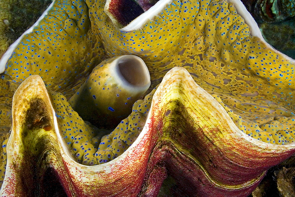 giant clam red fish egg mass on the shell of a giant tridacna clam Fiji
