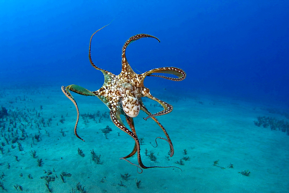 big blue octopus or day octopus octopus underwater Hawaii USA