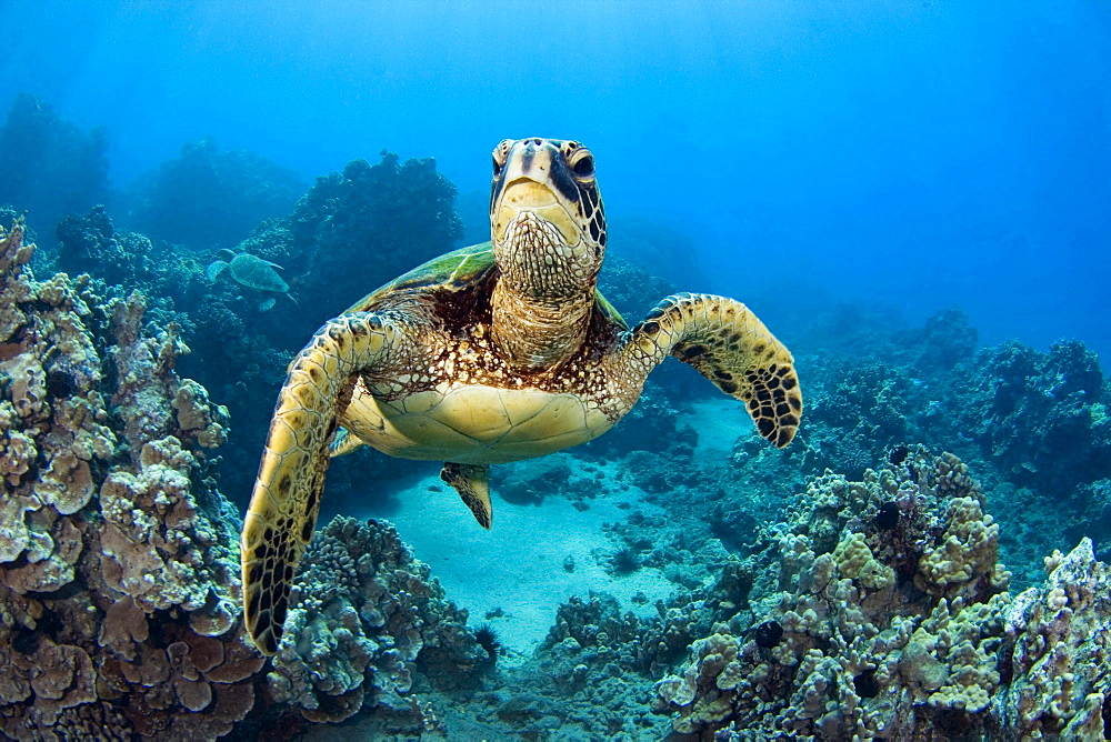 green turtle or green sea turtle endangered species seaturtle underwater Hawaii USA