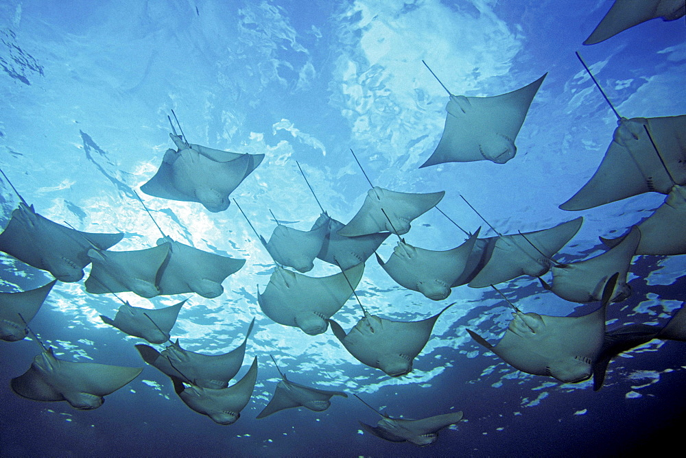 cownose ray rays schooling circling dive site Galapagos Islands