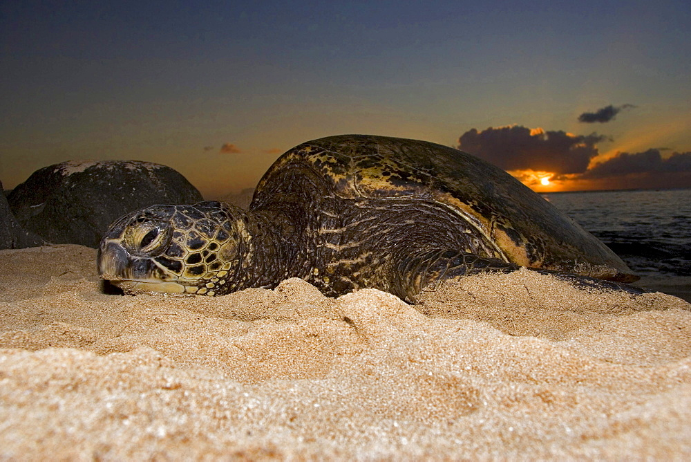 green turtle or green sea turtle endangered species sea turtle pulls out at sunset onto a beach on the Northshore of Oahu Hawaii USA