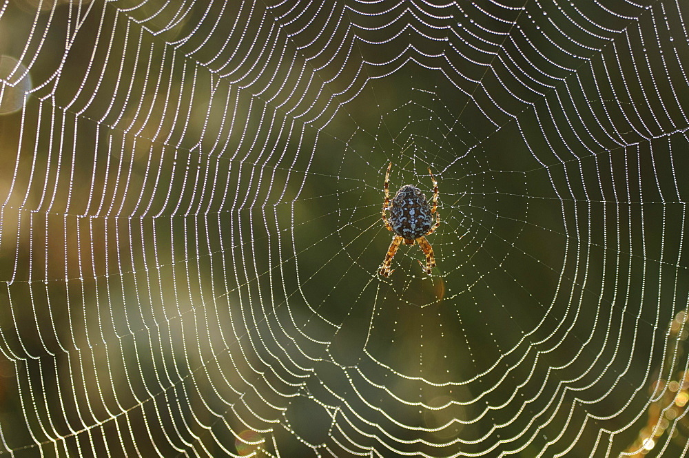 orb-weaver orb-weaver sitting on spider net with dew drops in morning dew portrait