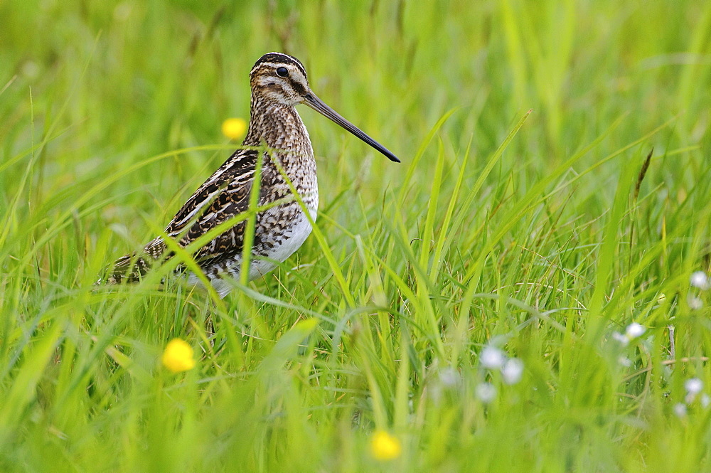 common snipe common snipe in grass portrait