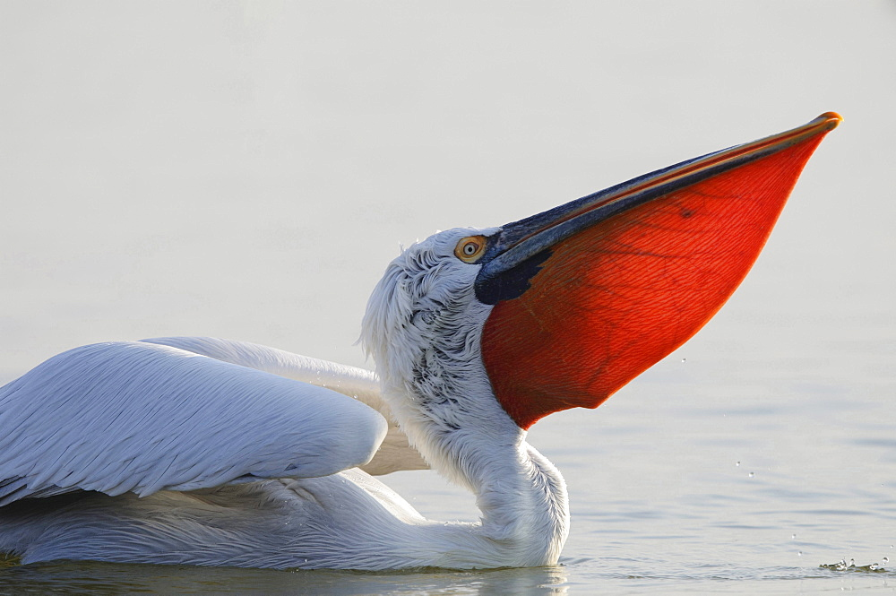 Dalmatian pelican Dalmatian pelican in water head bark and pouch portrait Macedonia Greece