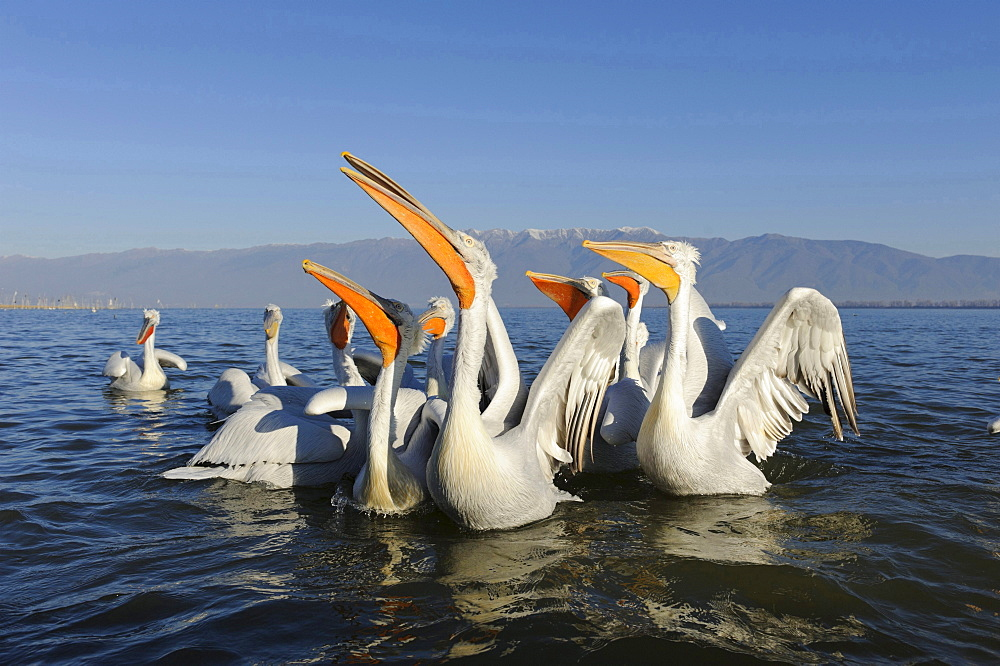 Dalmatian pelican group of Dalmatian pelicans in water portrait Macedonia Greece